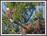 20150626 759 SERIES - Bald Eagles.jpg