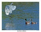 20150624 780 SERIES -  Great Egret and Mallards.jpg