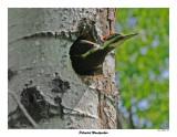20150610 075 SERIES - Pileated Woodpecker.jpg