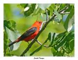 20150619 - 2 124 Scarlet Tanager.jpg