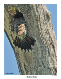 20150606 240 SERIES - Northern Flicker and Great Crested Flycatchers.jpg