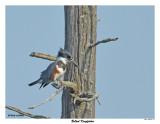 20150711 277 SERIES - Belted Kingfisher.jpg
