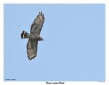 20150711 356 Broad-winged Hawk.jpg