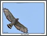 20150711 354 Broad-winged Hawk 1r1.jpg
