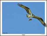 20150715 038 SERIES - Osprey3.jpg