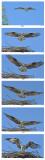 20150715 108 - 121 SERIES - Osprey.jpg