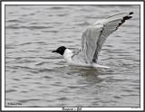 20150721 189 SERIES - Bonaparte's Gull.jpg
