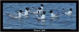 20150727 1058 SERIES -  Bonaparte's Gulls.jpg