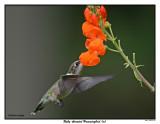20150731 058 SERIES - Ruby-throated Hummingbird (m).jpg