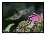 20150731 155 SERIES -  Ruby-throated hummingbird (m) xxx.jpg