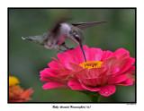 20150731 143 SERIES - Ruby-throated Hummingbird (m).jpg