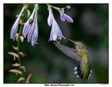 20150731 132 SERIES - Ruby-throated Hummingbird (m).jpg
