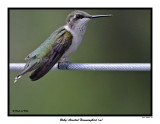 20150731 193 SERIES - Ruby-throated Hummingbird (m).jpg