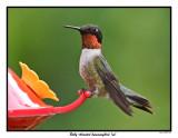 20150801 500 SERIES - Ruby-throated hummingbird (m).jpg
