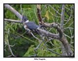 20150802 002 Belted Kingfisher.jpg