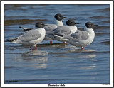 20150727 304 SERIES -  Bonaparte's Gulls.jpg