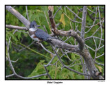 20150802 001 Belted Kingfisher.jpg