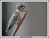 20150807-2 070 Ruby-throated Hummingbird.jpg