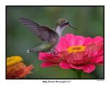 20150731 149 SERIES -  Ruby-throated Hummingbird (m).jpg