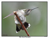 20150811 185 SERIES - Ruby-throated Hummingbird.jpg