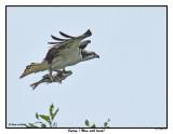 20150812-2 113 SERIES - Osprey (Mom with lunch).jpg