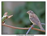 20150804 340 SERIES - R-t Hummingbird vs Rose-breasted Grosbeak.jpg