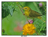 20150804 071 Yellow Warbler.jpg