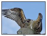 20150818 170 SERIES - Osprey.jpg