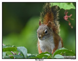 20150825 016 Red Squirrel.jpg