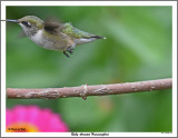 20150826 069 Ruby-throated Hummingbird.jpg