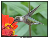 20150826 075 SERIES - Ruby-throated Hummingbird.jpg