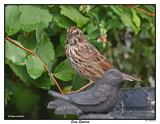 20150824 267 Song Sparrow.jpg