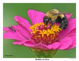 20150807-2 007 Bumblebee and Friend.jpg