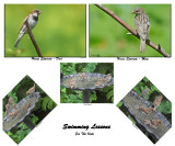 20150702 031 House Sparrows, Swimming Lessons3cr1.jpg