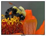 20150907 004 Bumble Bee.jpg