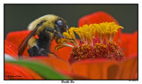 20150907 008 Bumble Bee.jpg