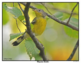 20150909 008 Magnolia Warbler.jpg