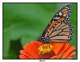 20150911-2 004 SERIES - Monarch.jpg
