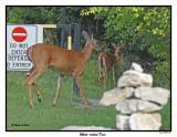 20150818 205 White-tailed Deer.jpg