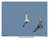 20150918 069 SERIES - Parasitic Jaeger vs Ring-billed Gull2.jpg