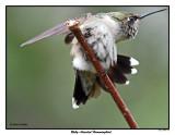 20150811 186 Ruby-throated Hummingbird.jpg