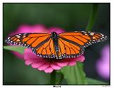 20150911-2 046 Monarch.jpg
