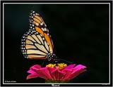 20150911-2 142 Monarch.jpg