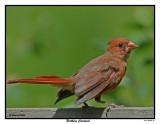 20150804 147 Northern Cardinal.jpg