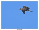 20150918 006 Bald Eagle juv.jpg