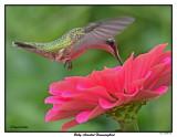 20150825 008 SERIES - Ruby-throated Hummingbird.jpg