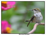 20150826 057 Ruby-throated Hummingbird.jpg