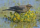 20120924 757 Rusty Blackbird.jpg
