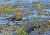 20120924 194 Rusty Blackbird xxx.jpg