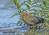 20120924 521 Rusty Blackbird.jpg